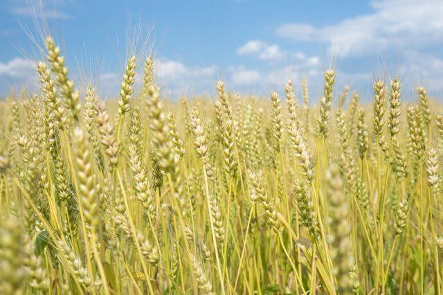 小麦のイメージ